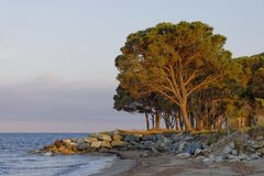 Umbrella pine from Corsica, France Royalty Free Stock Photo
