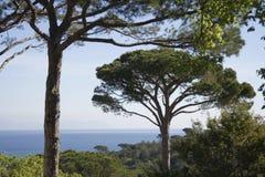 Umbrella pines over the ocean Royalty Free Stock Photo