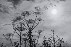 Umbrella plant against sky and sun. Backlighting, monochrome. Look at the sun through the grass royalty free stock photo