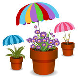 Umbrella Plants Stock Photos