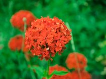 Umbrella of red small flowers royalty free stock image