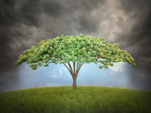 Umbrella shaped tree Royalty Free Stock Photography