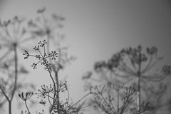 Umbrella sprout of dill against the sky. Black and white photo Royalty Free Stock Images