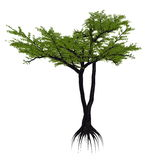 Umbrella thorn acacia tree, a. or vachellia tortilis - 3D render Stock Image