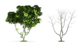 Umbrella Tree. Royalty Free Stock Photos