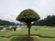 Umbrella Tree. This is  Umbrella Tree. the image is captured at noon time. the whole focus in on tree.the sun light is directly above on the tree with lower Stock Photography