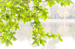Umbrella Tree and river in blur background Stock Images