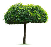 Umbrella tree on white background Stock Photography