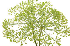 Umbrellas of fennel Royalty Free Stock Photos
