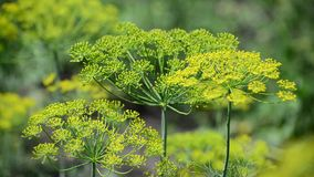 Umbrellas of fennel with seeds closeup stock video footage