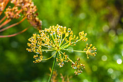 Umbrellas of seeds fragrant dill fennel with dew drop Royalty Free Stock Image