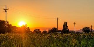 Umbria Italy sunflowers field Stock Photo