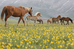 Umbrian Wild Horses Flowers, Italy Stock Photo