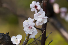 Ume Photo stock
