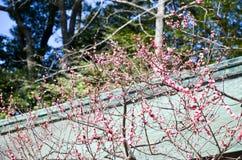 Ume blomningar i delvis blom, Kitano Tenmangu Shrine, Kyoto Fotografering för Bildbyråer