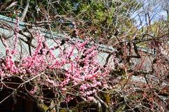 Ume blomningar i delvis blom, Kitano Tenmangu Shrine, Kyoto Royaltyfri Bild