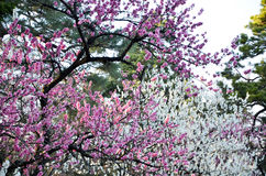 Ume blomningar i den Kyoto Gyoen trädgården i aftonen, Kyoto Arkivbild