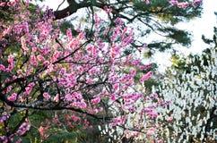 Ume blomningar i den Kyoto Gyoen trädgården i aftonen, Kyoto Arkivfoton