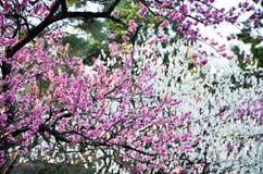 Ume blomningar i den Kyoto Gyoen trädgården i aftonen, Kyoto Arkivfoto