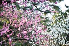 Ume blomningar i den Kyoto Gyoen trädgården i aftonen, Kyoto Royaltyfria Bilder
