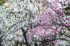 Ume blomningar i den Kyoto Gyoen trädgården i aftonen, Kyoto Fotografering för Bildbyråer