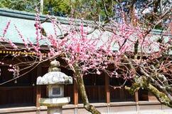 Ume blomningar och lykta i Kitano Tenmangu Shrine, Kyoto Royaltyfria Foton