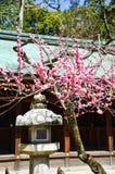 Ume blomningar och lykta i Kitano Tenmangu Shrine, Kyoto Arkivfoton