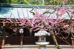 Ume blomningar och lykta i Kitano Tenmangu Shrine, Kyoto Arkivbilder