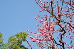 Ume blomstrar i Kitano Tenmangu Shrine, Kyoto Fotografering för Bildbyråer
