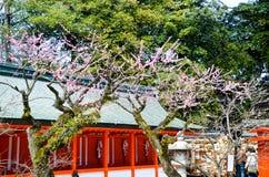 Ume blomstrar i Kitano Tenmangu Shrine, Kyoto Royaltyfri Foto