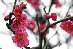 Ume Blossom. Close up view of Ume flowers, which  being cultivate for the fruits (plum) and flowers. The flower symbolizes the arrival of Chinese calendar New Stock Photography