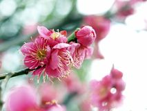 Ume Blossom. Close up view of Ume flowers blossom during spring Royalty Free Stock Photo