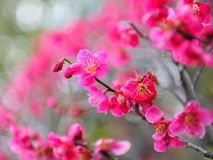 Ume blossom Royalty Free Stock Photos