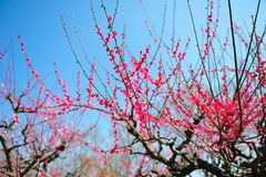 Ume blossom Royalty Free Stock Photography