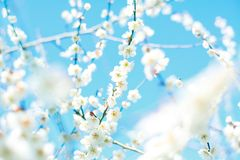 Ume blossom Royalty Free Stock Image