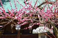 Ume Blossoms in Kitano Tenmangu Shrine, Kyoto Royalty Free Stock Photos