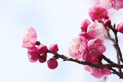 UME Japanese plum-blossom Stock Images