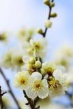 UME Japanese plum-blossom Stock Image