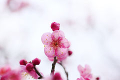 UME Japanese plum-blossom Royalty Free Stock Photos