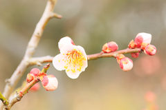 UME Japanese plum-blossom Stock Photo