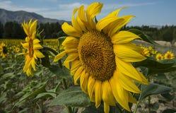 Umfangreiche Bearbeitung der Sonnenblume Lizenzfreies Stockbild