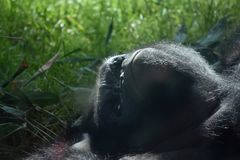 Umgedrehtes Tiefland Gorilla Frowning stockbild
