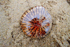 Umgehen Sie Quallen Chrysaora hysoscella auf einem kornischen Strand Lizenzfreie Stockfotografie