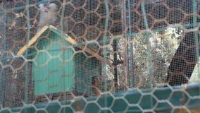 Umgekippter Affe in einem Käfig stock video