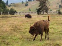 Umgekippter Bison Lizenzfreie Stockfotografie