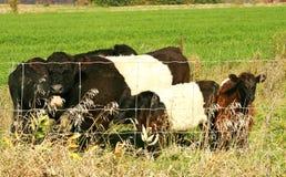 Umgeschnallte Galloway-Kühe Lizenzfreie Stockfotos