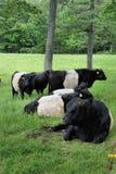 Umgeschnallte Galloway-Kühe Stockfotografie