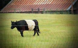 Umgeschnallte Galloway-Kuh Stockfoto