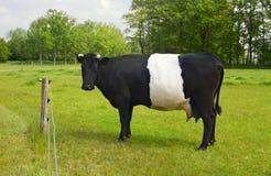 Umgeschnallte Galloway-Kuh mit unterscheidendem weißem Streifen lizenzfreie stockbilder