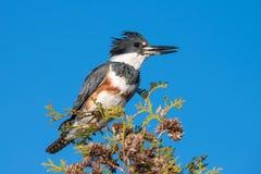 Umgeschnallter Eisvogel gehockt auf einem Zedernbaum lizenzfreie stockbilder